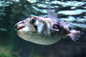 Японская ядовитая рыба фугу: экстримальный деликатес