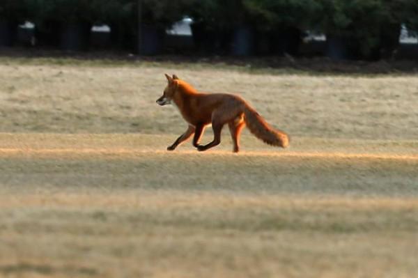 Дикое животное лиса фото