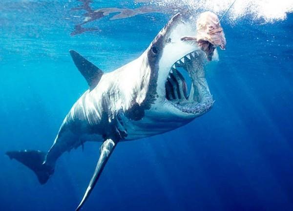 Как выглядит акула людоед