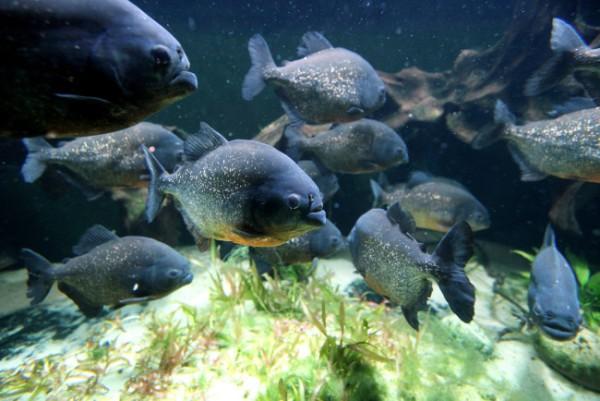 Пираньи фото рыбы