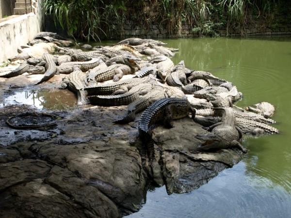 Ферма с крокодилами в Ольгинке