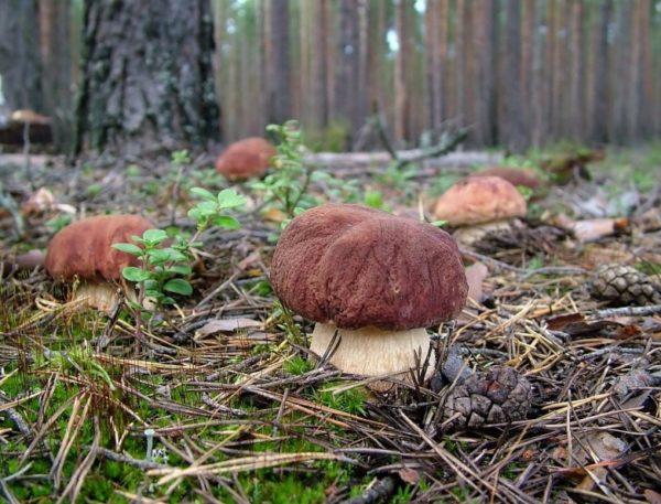 Где есть грибы в ленобласти сегодня