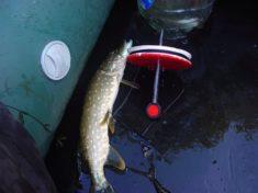 Рыбалка на щуку на кружки и поставушки осенью